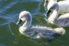 Cute young chick swan close-up Royalty Free Stock Photography