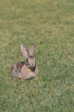 Cute Young Cottontail Stock Photos