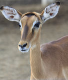 Cute young deer. Cute young sika deer at a zoo royalty free stock photography