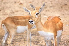 Cute young deer or antelope from a safari zoo Royalty Free Stock Photography