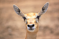 Cute young deer or antelope from a safari zoo Stock Image