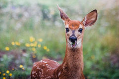 Cute young deer eating leaves in field. A beautiful young deer eating leaves with a funny face in a green field with yellow flowers stock photo