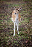 Cute young deer in the forest Stock Photography