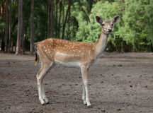 Cute young deer in the forest Stock Image