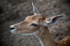 Cute young deer in the forest Royalty Free Stock Photography