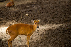 Cute young deer. Royalty Free Stock Image