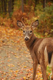 Cute young deer Royalty Free Stock Photography