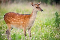 Cute young deer Royalty Free Stock Photo