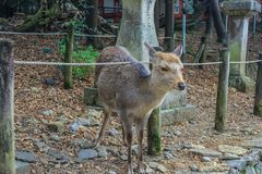 Cute young deers walking in the park. Sacred animals of the world. 2013.01.05, Nara, Japan. Cute young deers walking in the park. Sacred animals of the world stock photo
