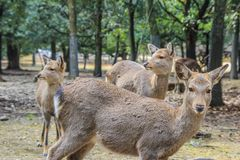 Cute young deers walking in the park. Sacred animals of the world. 2013.01.05, Nara, Japan. Cute young deers walking in the park. Sacred animals of the world royalty free stock image