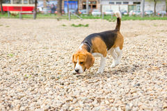 Cute young dog beagle sniffing Royalty Free Stock Image