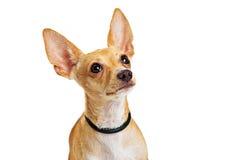 Cute Young Dog Closeup Looking Up Royalty Free Stock Photo