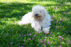 Cute young dog Komondor. Lying on a flowering meadow Stock Images