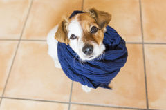 Cute young dog looking at the camera with a blue scarf. brown ba stock photos