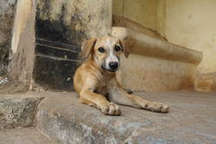 Cute young dog, Old Goa Royalty Free Stock Photography