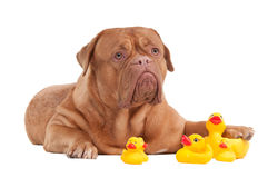 Cute young dog playing with yellow ducks Royalty Free Stock Photos