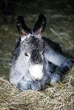 Cute young donkey portrait Stock Photos