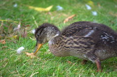 Cute young duck closeup Royalty Free Stock Photography