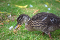Cute young duck closeup Stock Images