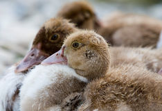Cute young ducks Royalty Free Stock Image
