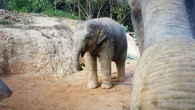 Elephant baby at feeding by mother stock photography