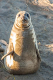Cute Young Elephant Seal Stock Photos