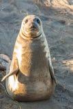 Cute Young Elephant Seal Yoga Stock Photos