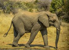 Cute and young elephant walking in thick bushes in Kruger national park. Cute and young elephant with small tusk walking in thick bushes in Kruger national park royalty free stock images