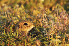 Cute young european ground squirrel. Hiding at the entrance of the den & x28; Spermophilus citellus, juvenile animal & x29 royalty free stock image
