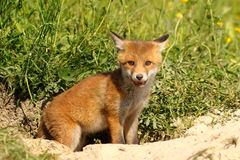 Cute young european red fox Stock Image