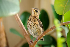 Cute Young Fieldfare on Tree Stock Photos
