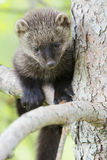 A cute young fisher in tree. A baby fisher stand-in a fir tree royalty free stock image