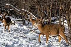 A herd of deers looking for a food in snowy forest stock photo