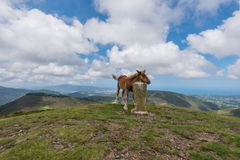 Cute young foal  Stock Images