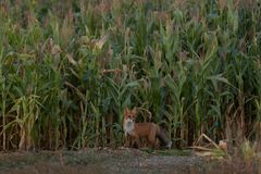 Cute young fox cub on the grass background. One. Evening light.