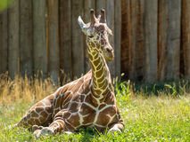 Cute young giraffe laying down Royalty Free Stock Images