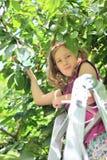 Cute young girl harvestin sweet cherries. Stock Photo