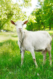 Cute young goat Stock Image
