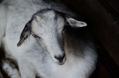 Cute young goat lying in the paddock. Farm animal in low key photography Royalty Free Stock Photo