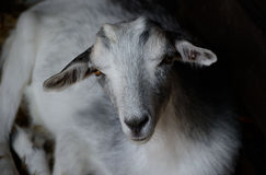 Cute young goat lying in the paddock. Farm animal in low key photography Royalty Free Stock Photography
