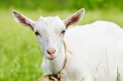 Cute young goat Royalty Free Stock Images