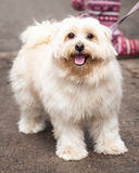 Cute Young Gold Lhasa Apso Dog Standing on the Sidewalk Stock Photography