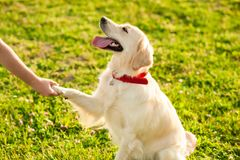 Cute young golden retriever dog giving a paw royalty free stock photo