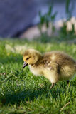 Cute young goose is going somewhere Royalty Free Stock Image