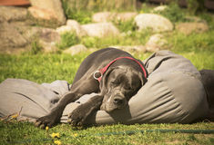 Cute young Great Dane sleeping Royalty Free Stock Photo