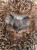 Cute Young Hedgehog Stock Images