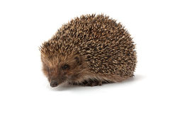 Cute young hedgehog Stock Photo