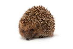 Cute young hedgehog Stock Photography