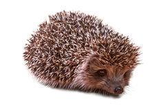 Cute young hedgehog - porcupine - isolated on white royalty free stock images
