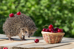Cute young hedgehog stands near the wicker basket with sweet cherry on a background of green leaves. berrie. Cute young hedgehog, Atelerix albiventris, stands royalty free stock photography